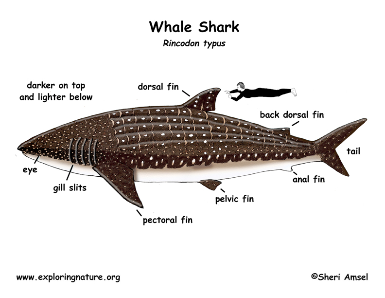 the biological classification of the shark Family lamnidae mackerel sharks or white shark adw doesn't cover all species in the world, nor does it include all the latest scientific information about.